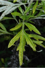 mature mugwort leaf